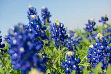 North Texas Lone Star Bluebonnet Spring