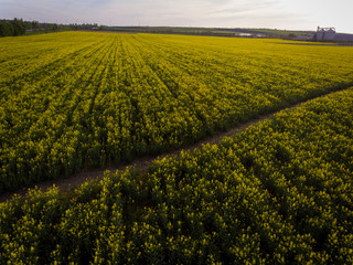Aerial photos of yellow oilseed with walkway