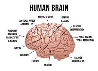 Human brain anatomy. Vector illustration.