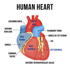 Colorful anatomy of human heart with descriptions of it's parts. Vector illustration.