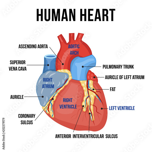 """""""Colorful anatomy of human heart with descriptions of it's ..."""