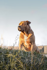Bulldog,  large pure-bred trained dog, sits on  grass_
