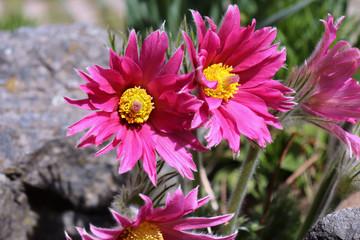Pasque Flower, beautiful , spring flower Pulsatilla vulgaris - soft focus.