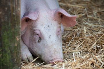 portrait of pig in a farm