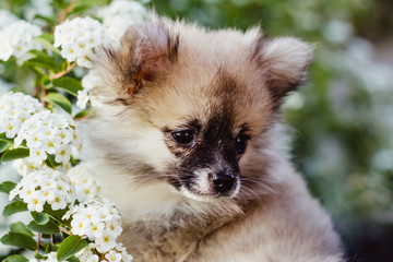 Portrait of a cute little Pomeranian puppy surrounded by white flowers. The dog looks interested.