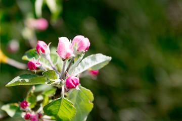 Fototapeta Apfelblüte