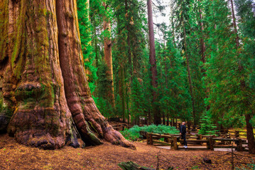 Tourist looks up at a giant sequoia tree