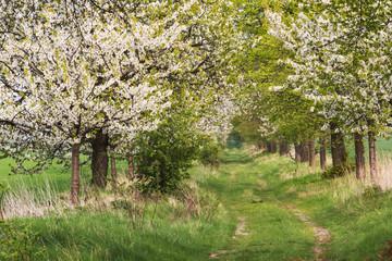 Feldweg mit Kirschbäumen in Blüte bei Quedlinburg in Sachsen-Anhalt