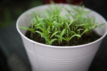 Seedlings in a Bucket