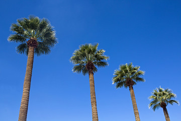 Four Palm Trees against a blue sky