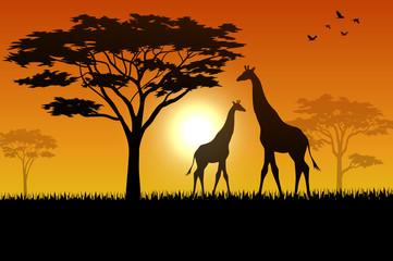 Silhouette  of giraffe at savanah
