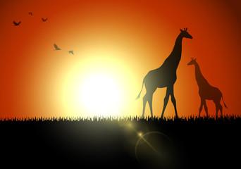 Giraffe silhouette in sunset at savanah