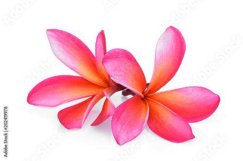 pink frangipani tropical flower plumeria lanthom leelawadee