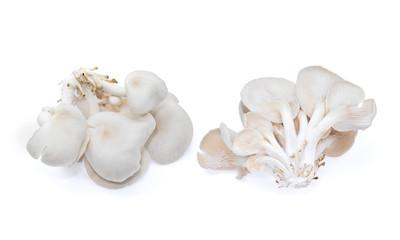 white oyster mushroom isolated on white background