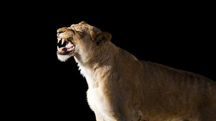 African lion roaring isolated on a black background
