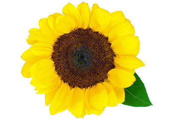 beautiful sunflower isolated