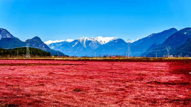 Red colored Cranberry fields near Pitt Meadows with the Snow Capped Peaks of the Golden Ears, Tingle Peak and other Mountain Peaks of the Coast Mountains in the Fraser Valley of British Columbia