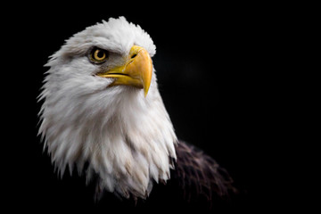 Foto op Plexiglas Eagle Isolated Bald Eagle Staring Up to the Right