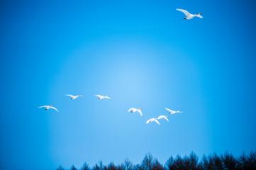 大空を飛ぶ丹頂鶴
