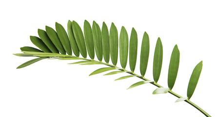 Cardboard palm or Zamia furfuracea or Mexican cycad leaf, Tropical foliage isolated on white background, with clipping path Wall mural