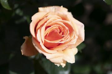 パステルオレンジのばらの花「アシュラム」のアップ