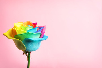 Amazing rainbow rose flower on color background