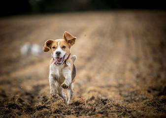 The happy Beagle