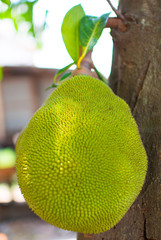 Jackfruit is on the brown stick. It is Thai and Asia fruit which is green and yellow colour.