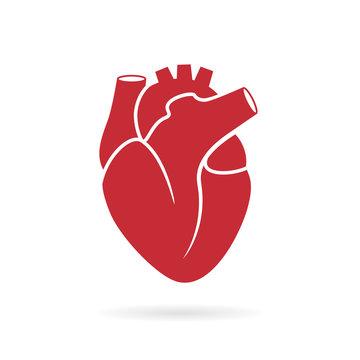 Realistic human heart vector drawing