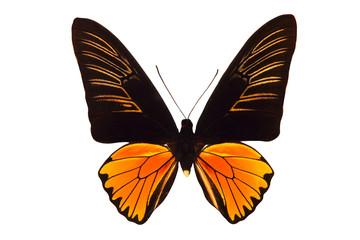 Большая бабочка с чёрно-оранжевыми крыльями, изолирована на белом фоне