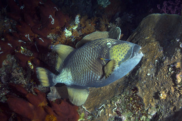 Titan triggerfish  (Balistoides viridescens) and Bluestreak cleaner wrasse (Labroides dimidiatus ). Picture was taken in the Banda sea, Ambon, West Papua, Indonesia