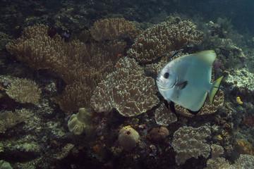 Beautiful  soft corals in the Ceram sea, Misool, West Papua, Indonesia