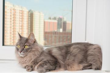 Furry gray cat on a window sill