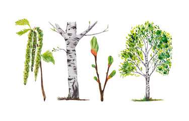 Birch trees, birch buds, and branches. All illustrations are isolated, on a white background, painted in watercolor.