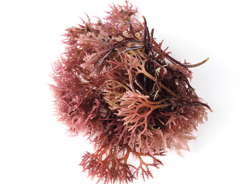 Gigartina Pistillata