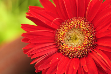A red Gerber flower with shallow depth of field