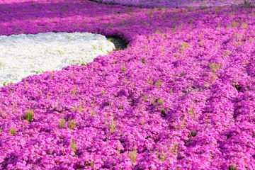 埼玉県 秩父市 羊山公園 芝桜の丘