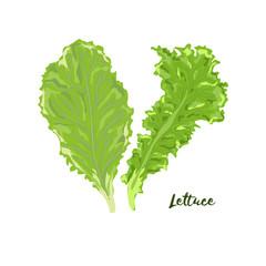 Lettuce. Vector illustration. No gradient