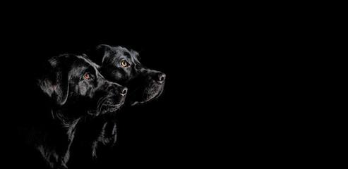 Zwei schwarze Labrador Retriever mit wunderschönen Augen im Seitenprofil vor schwarzen Hintergrund
