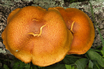 Overview of two golden mushrooms - Gymnopilus suberis