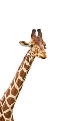 Giraffe head against white background