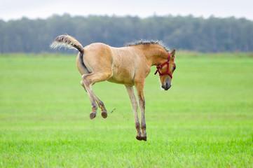 little foal plays in summer rainy field