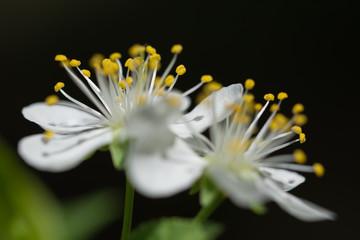 Spring blossom of a plum tree - closeup of filaments
