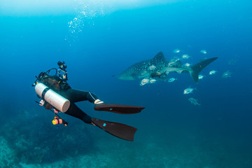 Wall Mural - SCUBA diver with a camera swims next to a large Whale Shark on a tropical coral reef