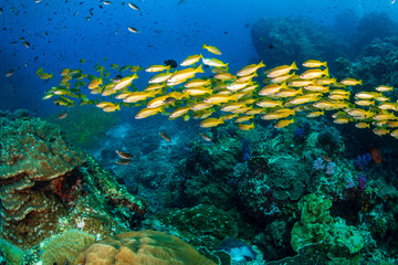 School of colorful snapper on a tropical coral reef