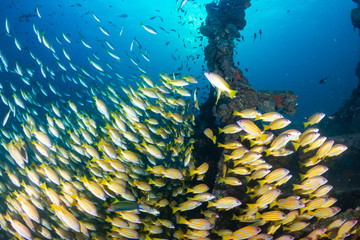 School of Snapper on a shipwreck on a tropical coral reef