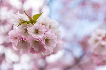 Sprink time, branch of sakura flowers