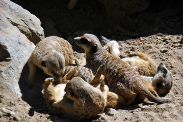 Meerkat family playing in the sun