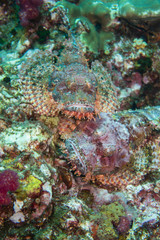 Thailand: Richelieu Rock two scorpion fish luring for bait