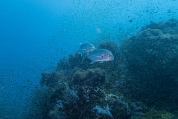 Thailand: Giant Trevallies hunting at Richelieu Rock